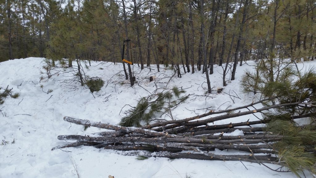 Small Pine Trees cut with the Agawa Canyon BOREAL21 Folding Bow Saw